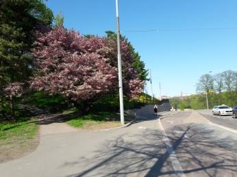 Helsinginkatu kirsikat